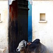 Cow In Temple Udaipur Rajasthan India Art Print