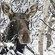 Cow Moose Among Snow Covered Trees In Art Print