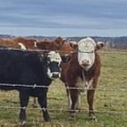Cow Time Art Print