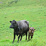 Cow With Calf On Thorpe Hillside Art Print