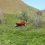 Cows Along The Rolling Hills Landscape Of The Black Diamond Mines In Antioch California 5d22303 Art Print by Wingsdomain Art and Photography