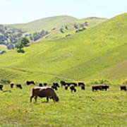 Cows Along The Rolling Hills Landscape Of The Black Diamond Mines In Antioch California 5d22328 Art Print