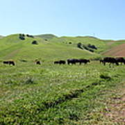 Cows Along The Rolling Hills Landscape Of The Black Diamond Mines In Antioch California 5d22346 Art Print