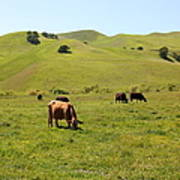 Cows Along The Rolling Hills Landscape Of The Black Diamond Mines In Antioch California 5d22350 Art Print by Wingsdomain Art and Photography