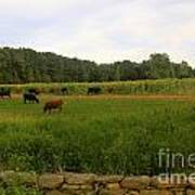 Cows At Buttonwood Art Print by Dorothy Drobney