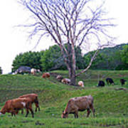 Cows In Rolling Hills Art Print