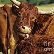 Cows Salers Art Print by Bernard Jaubert