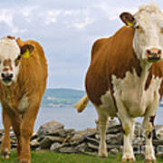 Cows Art Print by Terry Whittaker