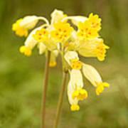 Cowslip   Primula Veris Art Print