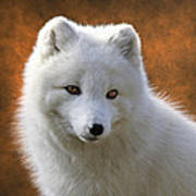 Coy Arctic Fox Art Print