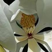 Coy Magnolia Art Print