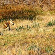 Coyote Catch Art Print by Rebecca Adams