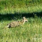 Coyote In Boulder Higlands Art Print
