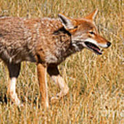 Coyote In Rocky Mountain National Park Art Print