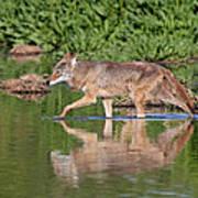 Coyote Looking For Breakfast Art Print