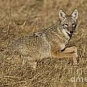 Coyote Running Art Print