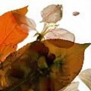 Crabapple Rose I Art Print