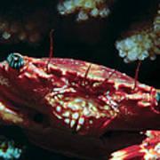 Crabs 1 Art Print