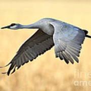 Crane Over Golden Field Art Print