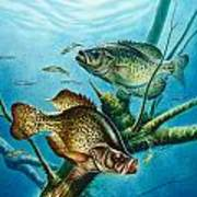 Crappie And Root Art Print