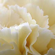 Cream Coloured Carnation, Close-up Art Print