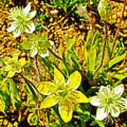 Cream Cups In Antelope Valley California Poppy Reserve-california  Art Print