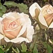 Creamy Roses Art Print