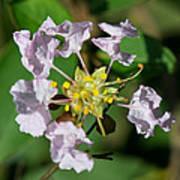 Crepe Myrtle Blossom Ring Art Print