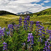 Crested Butte Lupines Art Print