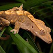 Crested Gecko Rhacodactylus Ciliatus Art Print