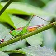 Cricket Meets Grasshopper Art Print