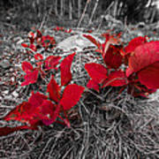 Crimson Foliage Art Print