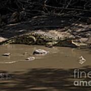 Crocodile   #7282 Art Print