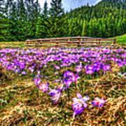 Crocus Flower Valley Art Print