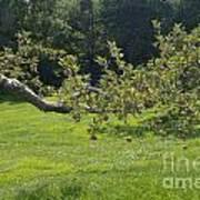 Crooked Apple Tree Art Print