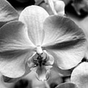 Cross Orchid Art Print