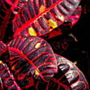 Croton Leaves In Black And Red Art Print