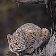 Crouching Bobcat Montana Wildlife Art Print