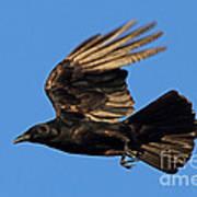 Crow In Flight Art Print