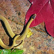 Crowned Snake Art Print