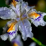Crying Fringed Iris-iris Japonica Art Print