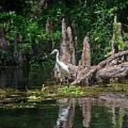 Crystal River Egret Art Print by Skip Willits