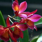 Ctna New River Orchid Art Print