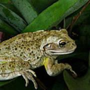 Cuban Tree Frog And Bromeliad. Art Print