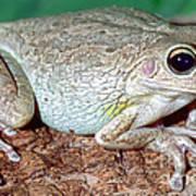 Cuban Tree Frog Osteopilus Art Print