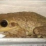 Cuban Tree Frog Art Print