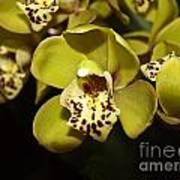 Cumbidium Orchid Art Print
