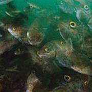 Cunner Fish Nova Scotia Art Print