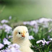 Curious Chick Art Print