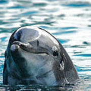Curious Dolphin Print by Mariola Bitner